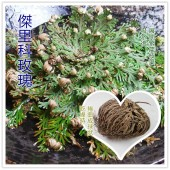 《香氛市集》傑里科玫瑰(小)(復活花)*愛情魔法+金錢魔法*
