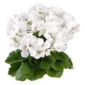 《香氛市集》專業級/芳療級單方精油-天竺葵10ml